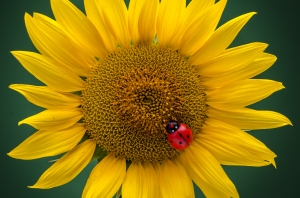 Ladybug on single sunflower